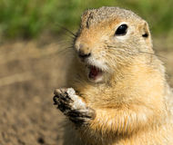 Comer surpreendido do terra-esquilo fotografia de stock