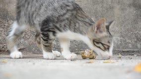 Comer tailandês doméstico do gato video estoque