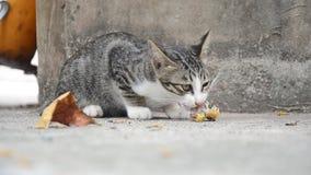Comer tailandês doméstico do gato vídeos de arquivo