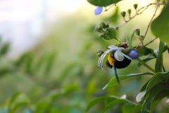 Comer tropeça a abelha Fotografia de Stock
