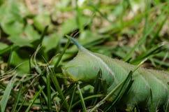 comer verde da lagarta Imagem de Stock