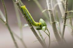 Comer verde da lagarta grande na árvore Fotos de Stock Royalty Free