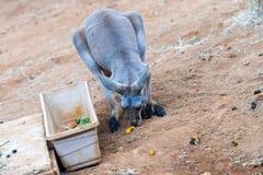 Comer vermelho do canguru Fotografia de Stock