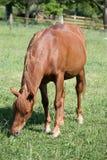 Comer vermelho do cavalo Imagem de Stock Royalty Free
