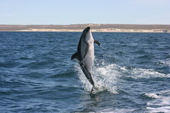 Dusky Dolphin jumps. Portrait of a Patagonian jumping dusky dolphin in the wild royalty free stock photography