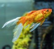 Comet or comet-tailed goldfish (Carassius auratus) in aquarium. Comet or comet-tailed goldfish (Carassius auratus) in natural aquarium Stock Image