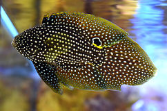 Comet fish Royalty Free Stock Image