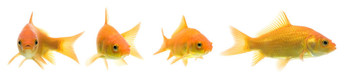 Comet Goldfish Series. Series of comet-tailed goldfish swimming against white background Royalty Free Stock Images