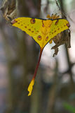 Comet moth. Giant yellow comet moth in Madagascar Stock Photos