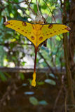 Comet moth. Giant yellow comet moth in Madagascar Stock Photography