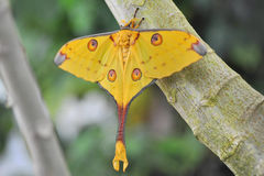 Comet Moth  Argema mittrei Stock Photos