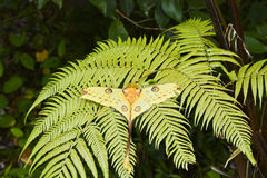 Comet Moth Argema mittrei - madagascar Royalty Free Stock Photography