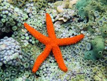 Comet sea star over anemones royalty free stock photos