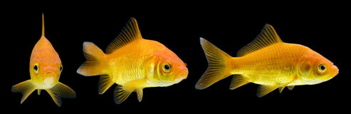Comet Series. Series of comet-tailed goldfish swimming against black background Royalty Free Stock Images