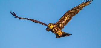 Cometa de caracol en vuelo Fotos de archivo libres de regalías