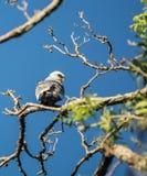 Cometa de Mississippi en pájaro del árbol Foto de archivo libre de regalías