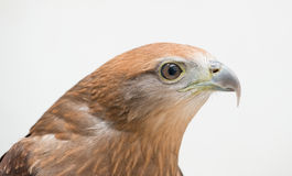 Cometa joven de Brahminy o mar-Eagle Rojo-apoyado Foto de archivo