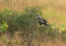 Cometa negra Eagle en el parque nacional de Conkouati- Douli, Congo Imágenes de archivo libres de regalías