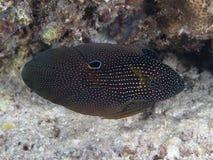 Cometfish en Mer Rouge images libres de droits