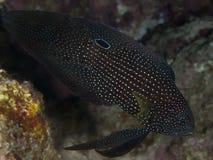 Cometfish en Mer Rouge image stock
