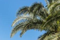 Comeu as folhas da palmeira contra o céu azul imagem de stock
