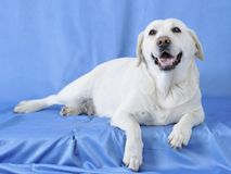 Comfort dog. Royalty Free Stock Images