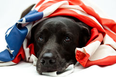 Comfort flag. Black Labrador mix wearing US flag Stock Photo