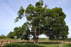 Comfort Maple. The comfort maple tree, said to be 530 yrs old, the oldest sugar maple tree in Canada Stock Photos