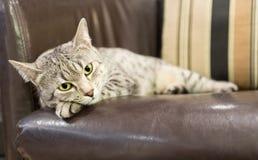 Comfortabele Egyptische Kat Mau Royalty-vrije Stock Afbeeldingen