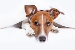 Comfortabele hond Stock Foto's
