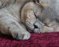 Comfortabele kattenslaap Royalty-vrije Stock Foto's