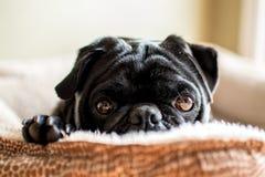 Comfortabele Zwarte Pug Stock Foto