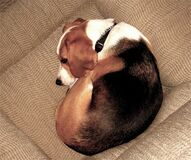 Comfortable Beagle Stock Photography