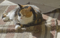 Comfortable Calico Kitty in a Patch of Sunlight Stock Photo