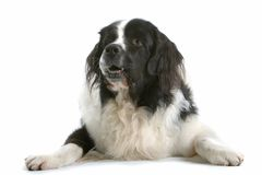 Comfortable Canine. Portrait of a black and white, long-haired dog, with it's front legs comfortably splayed to each side.  Isolated on a white background Royalty Free Stock Photos