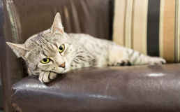 Comfortable Egyptian Mau Cat Royalty Free Stock Images