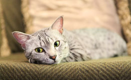 Comfortable Egyptian Mau Cat. A comfortable Egyptian Mau cat relaxes on a couch.  Shallow depth of field is focused on the eyes Royalty Free Stock Photo
