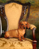 Comfortable Pet. Dachshund boldly perched on elegant antique chair Royalty Free Stock Image