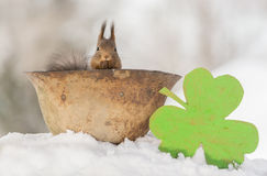 Comfortable seat. Close up of red squirrel standing in a helmet and a big clover  beside Stock Image