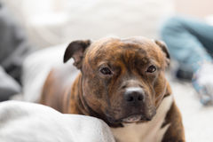 Comfortable staffordshire bull terrier lying on sofa looking to Royalty Free Stock Images