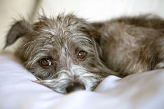 Comfortable Terrier Dog Laying on Pillow Stock Photography