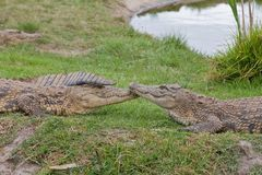 Comforting crocodiles Stock Photos