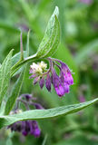 Comfrey Stock Photos