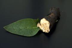 Comfrey; Błonie; leczniczy, korzenie Obraz Stock
