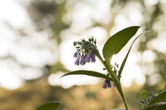 Comfrey in Bloom. Purple comfrey flowers hang in the evening sun, waiting for the bees to find them.  The stalks are coarsely hairy and the leaves are used Stock Photography