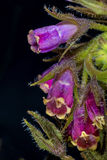 Comfrey Royalty Free Stock Image