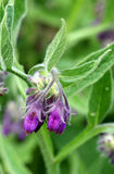 Comfrey flower Royalty Free Stock Images