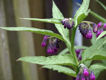 Comfrey in the garden Stock Images