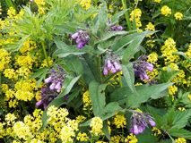 Comfrey grew up among yellow flowers of Euphorbia plants. Royalty Free Stock Photography
