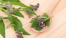 Comfrey leaves and flowers Royalty Free Stock Image